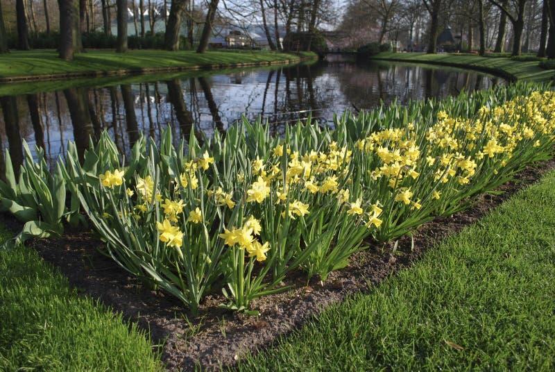 Gele die Gele narcissen in het bloembed aan de rivierkant worden gekweekt royalty-vrije stock foto