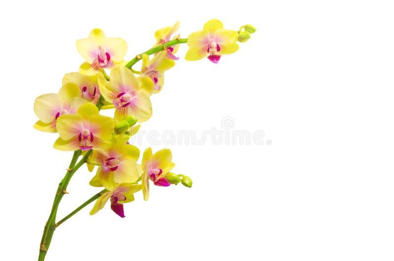 Gele die orchideebloemen op witte achtergrond worden geïsoleerd royalty-vrije stock fotografie
