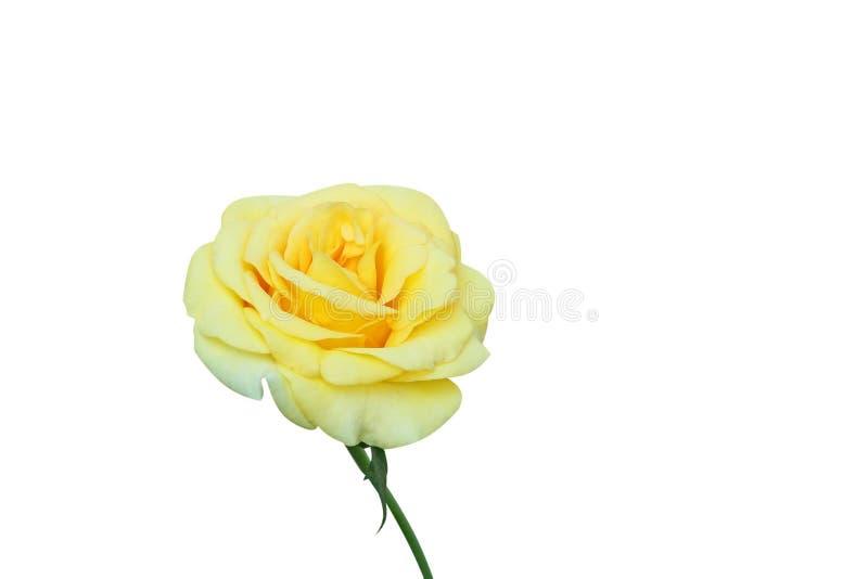 Gele die Rose Flower op witte achtergrond wordt geïsoleerd royalty-vrije stock afbeeldingen