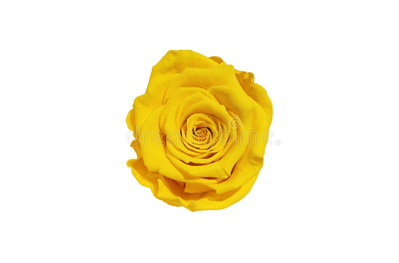 Gele die Rose Flower op witte achtergrond wordt ge?soleerd Hoogste mening stock foto's