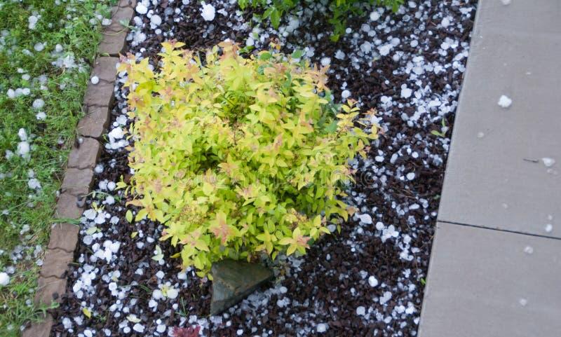 Gele die struik in bloembed door hagelstenen wordt omringd royalty-vrije stock foto's