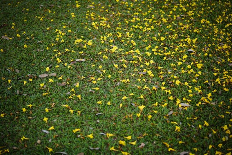 Gele die tabebuiabloemen op het groene gras in het park worden geploeterd royalty-vrije stock fotografie