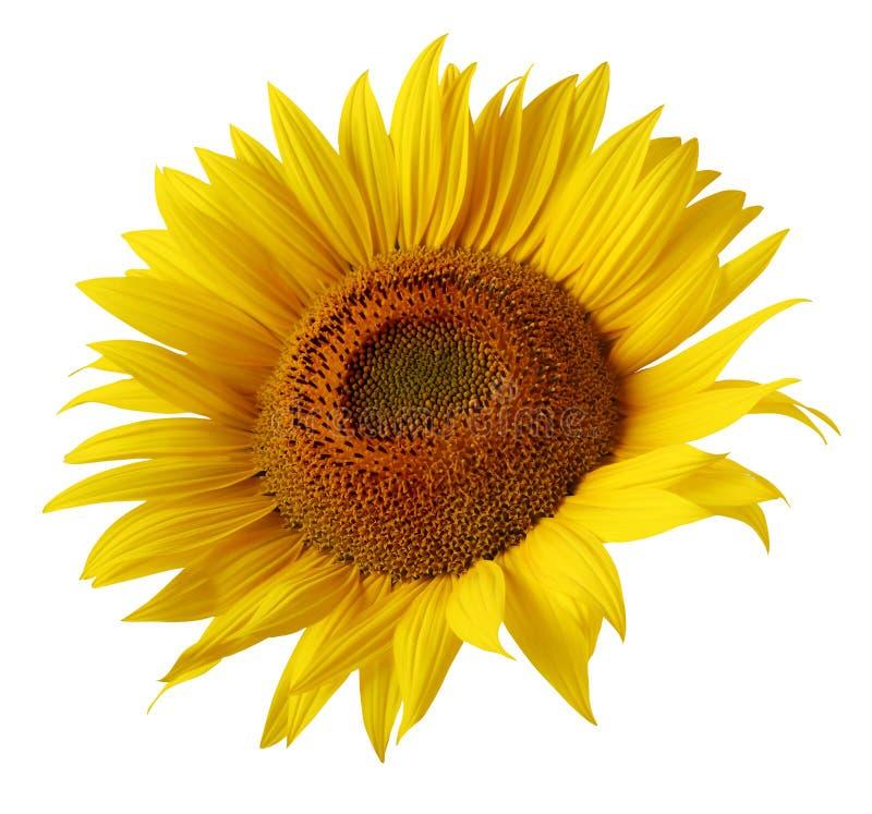 Gele die zonnebloembloem op witte achtergrond wordt geïsoleerd stock afbeeldingen