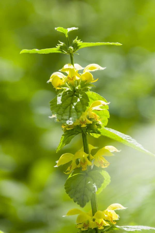 Gele dovenetel, κίτρινος αρχάγγελος, subsp Lamiastrum galeobdolon στοκ εικόνες
