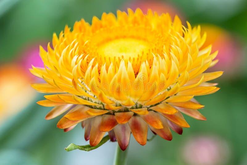 Gele droge Helichrysum stock foto