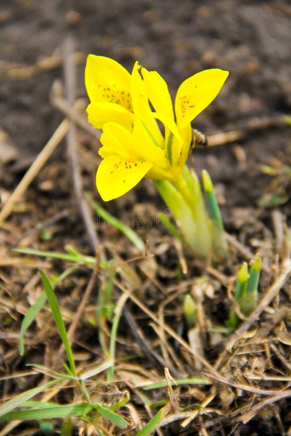 Gele dwergirisbloem royalty-vrije stock afbeeldingen