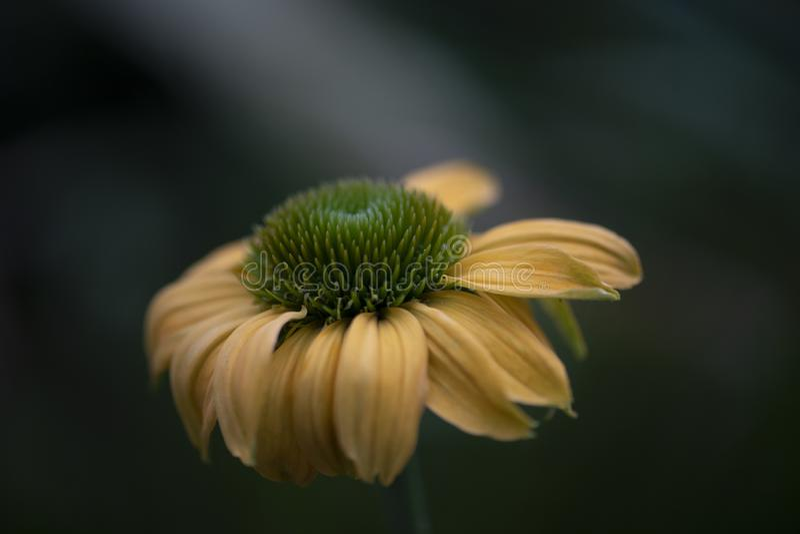 Gele echinacea royalty-vrije stock afbeeldingen