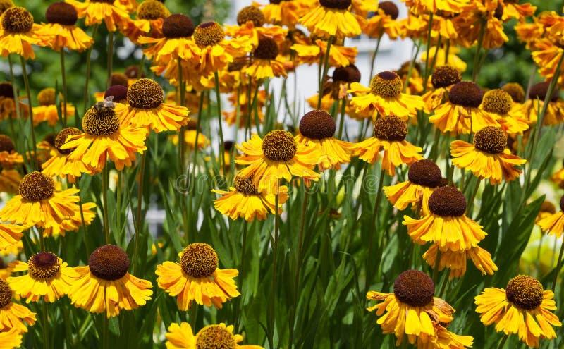 Gele echinaceabloemen in de zomertuin stock foto's