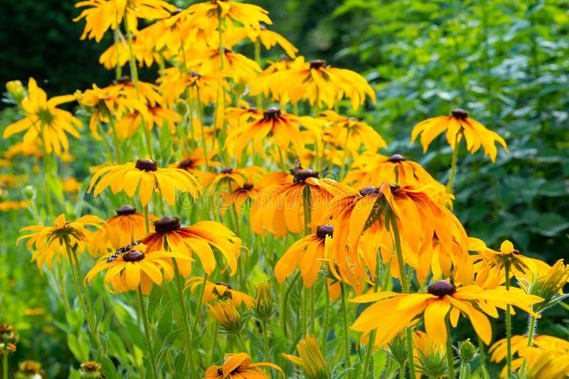 Gele echinaceabloemen die in de zomertuin groeien Natuurlijke Backg stock fotografie