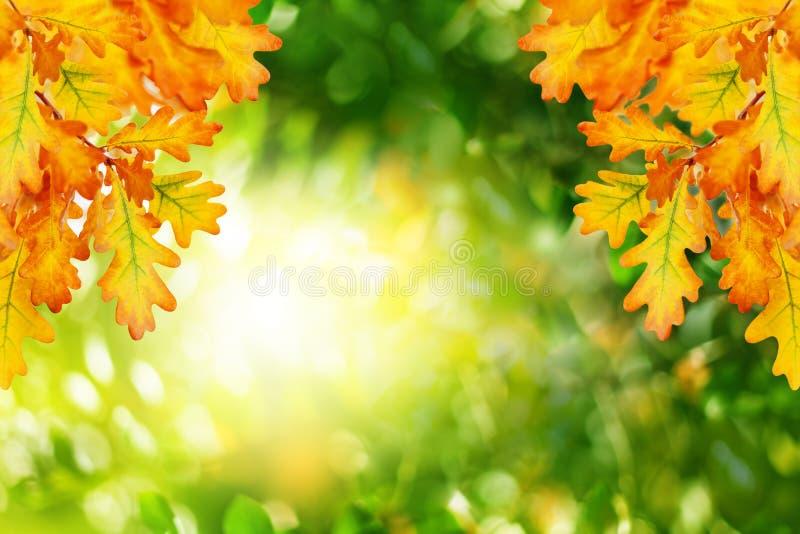 Gele eiken bladeren op groene vage bokeh achtergrond dicht omhoog, gouden gebladerte van de de herfst het bosaard op zonnige dag, royalty-vrije stock afbeeldingen
