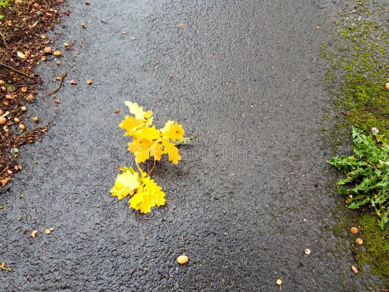 Gele eiken de herfstbladeren op de weg in een regenachtig bos stock foto's