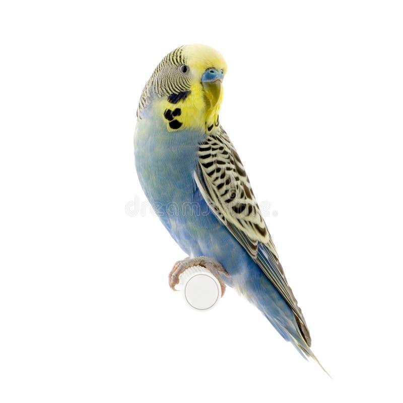 Gele en blauwe budgie stock foto's
