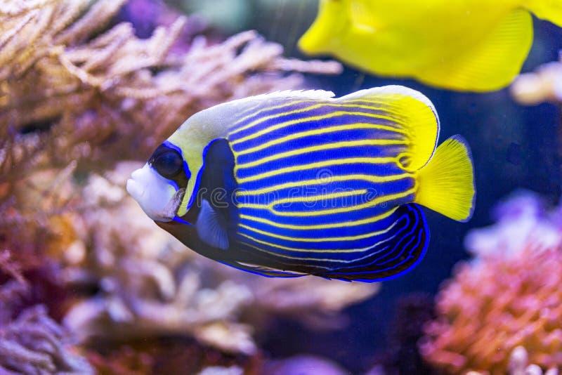 Gele en blauwe vissenengel stock afbeelding