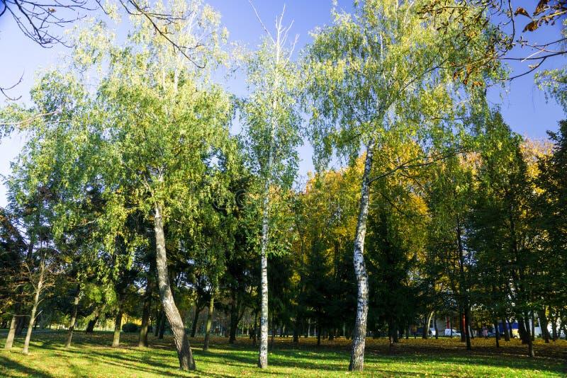 Gele en groene Berkbomen royalty-vrije stock foto