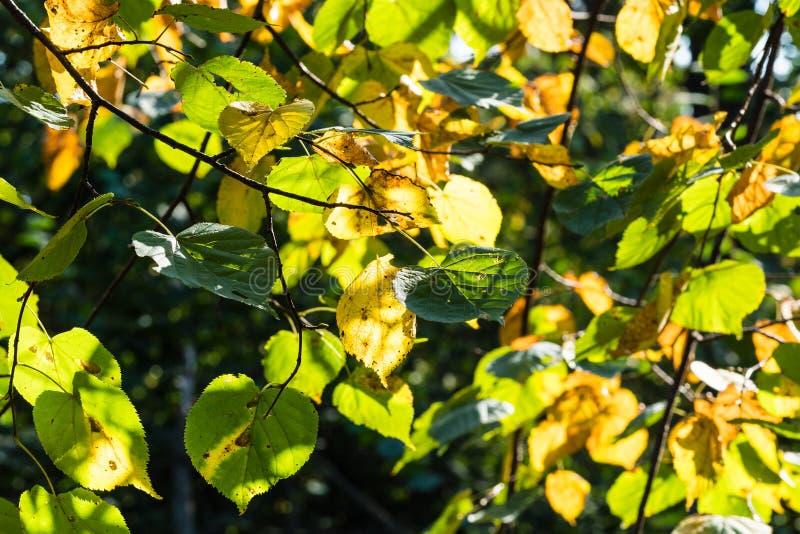 Gele en groene bladeren van linde in de herfst stock afbeelding