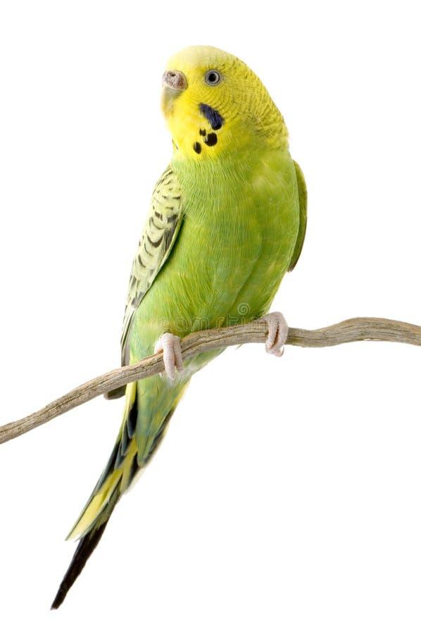 Gele en groene budgie