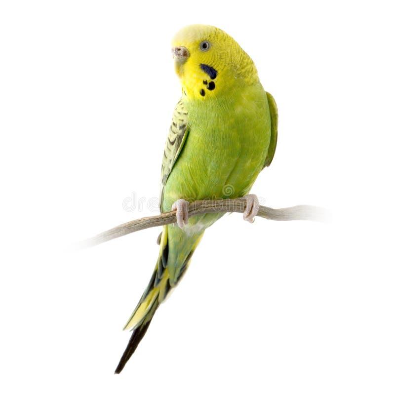 Gele en groene budgie stock foto's