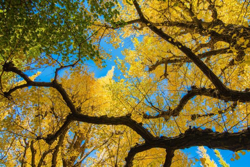 Gele en groene Ginkgo-bladeren tegen blauwe hemel, de bedelaars van ginkgobladeren stock afbeeldingen