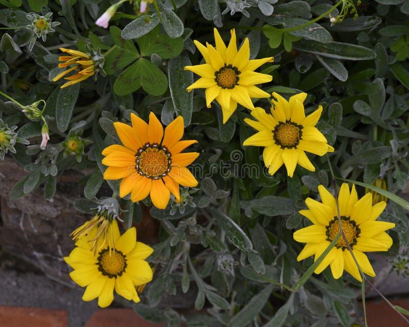 Gele en oranje gerberamadeliefjes en knoppen, Camogli, Italië stock fotografie