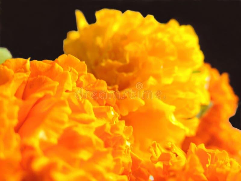 Gele en oranje goudsbloem dichte omhooggaande macro voor Indisch festival stock foto's