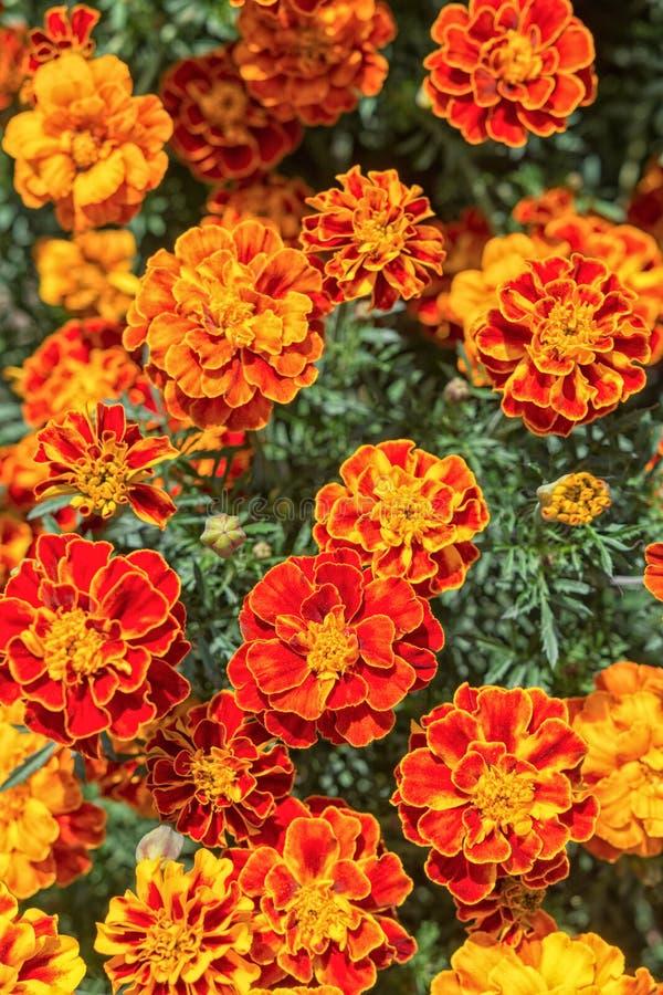 Gele en oranje goudsbloembloemen in de tuin royalty-vrije stock foto's