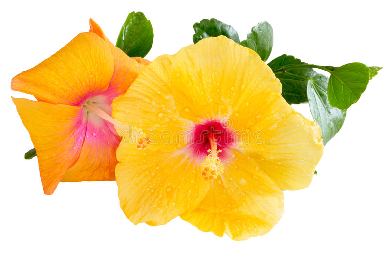 Gele en oranje Hibiscus, Tropische bloemen, op wit stock foto's