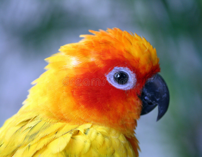 Gele en oranje papegaai royalty-vrije stock afbeelding