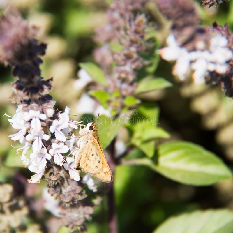 Gele en oranje vlinder met bruine vlekken Vurige Kapitein stock foto