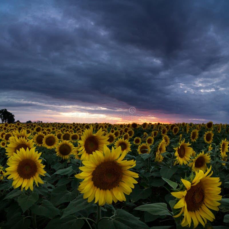gele en oranje zonnebloemen op gebied tijdens zonsondergang in Polen stock afbeelding