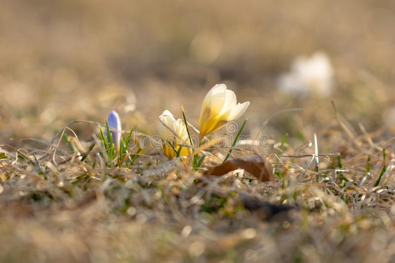 Gele en purpere krokussen ongeveer om in de vroege lente, tegen een aardige bokehachtergrond, close-up te bloeien stock foto's