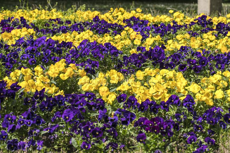 Gele en purpere pansies royalty-vrije stock fotografie
