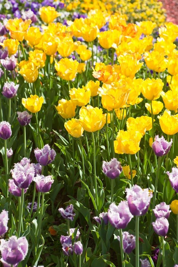 Gele en purpere tulpen royalty-vrije stock afbeelding