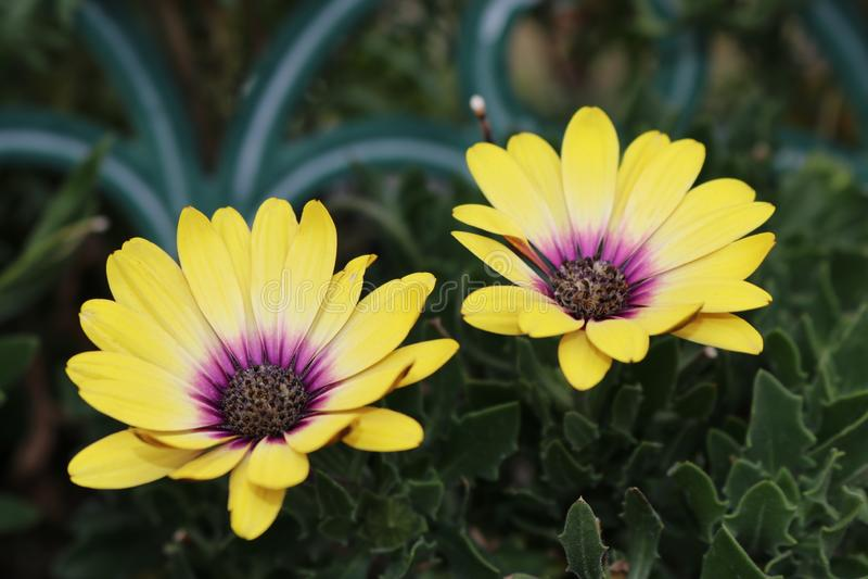 Gele en Purpere tweelingbloemen stock foto