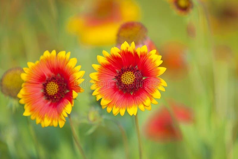 Gele en rode bloem stock afbeeldingen
