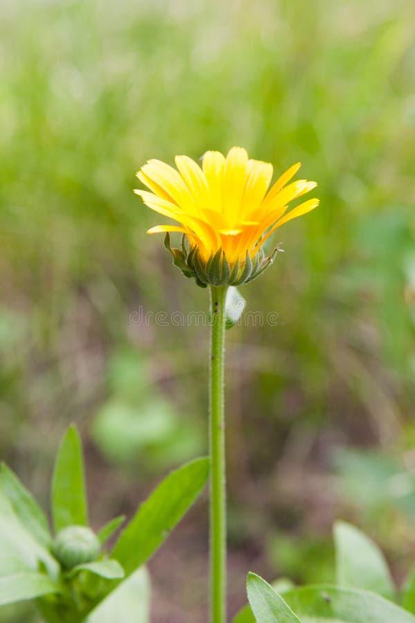 Gele en rode bloem in de tuin stock foto's