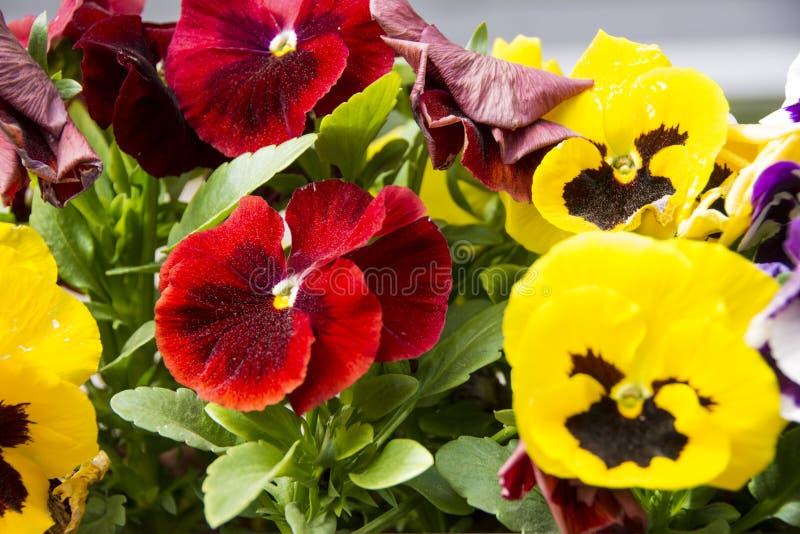 Gele en rode bloem in de tuin royalty-vrije stock foto's