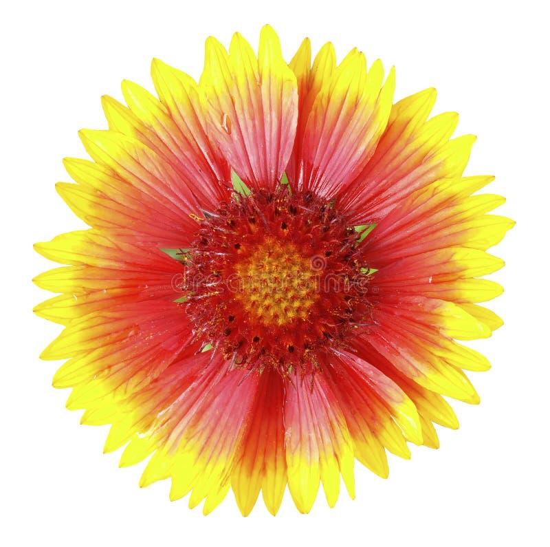 Gele en rode bloem, wit geïsoleerde achtergrond met het knippen van weg Geen schaduwen stock fotografie