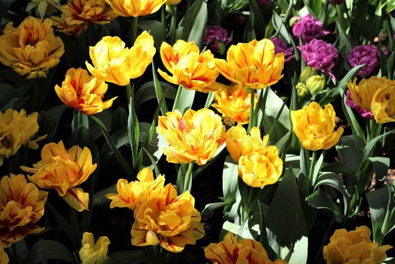 Gele en rode dubbele tulpen in gevlekte zon in Roozengaarde tijdens het Skagit-festival van de Valleitulp stock fotografie