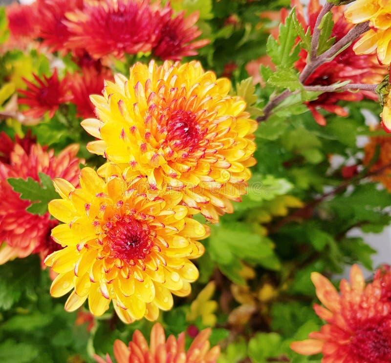 Gele en rode gerberbloemen royalty-vrije stock afbeeldingen