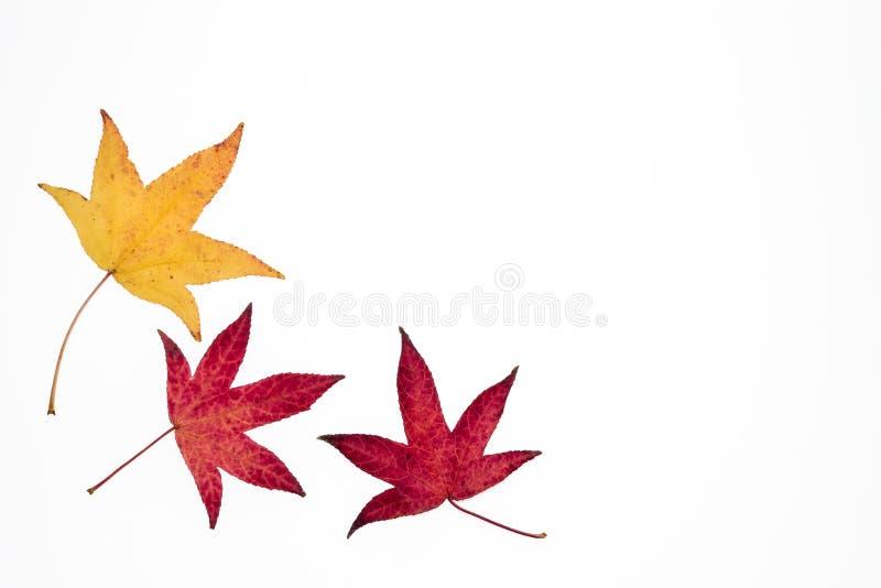 Gele en rode Japanse esdoornbladeren stock foto's