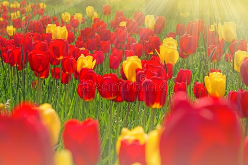 Gele en rode tulpen royalty-vrije stock foto's