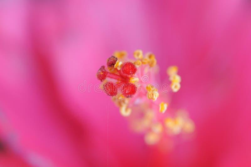 Gele en roze polan korrels van de roze bloem stock afbeelding