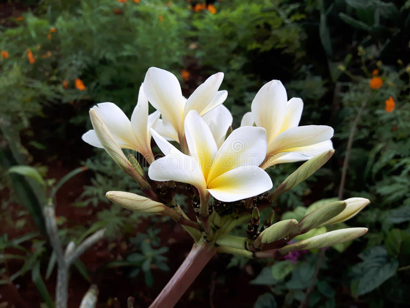 Gele en witte bloem stock fotografie