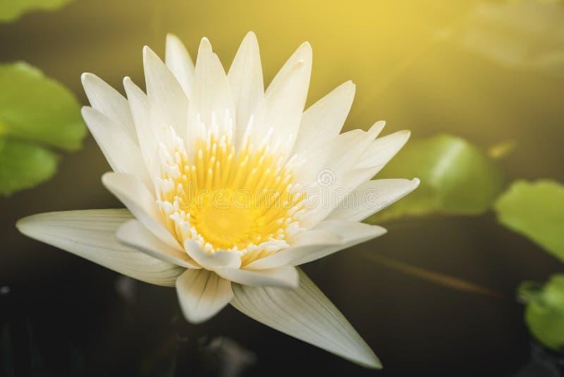 Gele en witte lotusbloem die in de ochtend bloeien stock foto