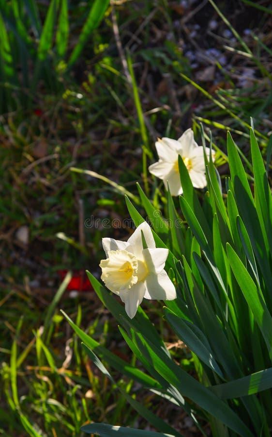 Gele en witte gele narcissen bij stadspark royalty-vrije stock foto's