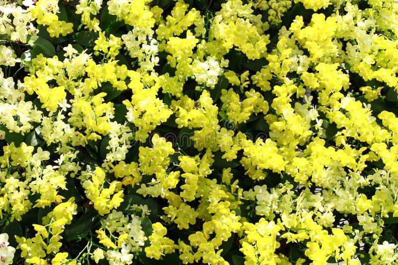 Gele en witte orchideeën royalty-vrije stock fotografie