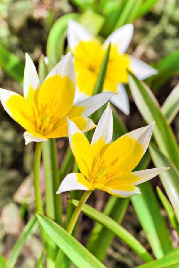 Gele en Witte Tulp die in tuin op natuurlijke achtergrond, Tulip Tarda, recente tulp tot bloei komen stock afbeelding