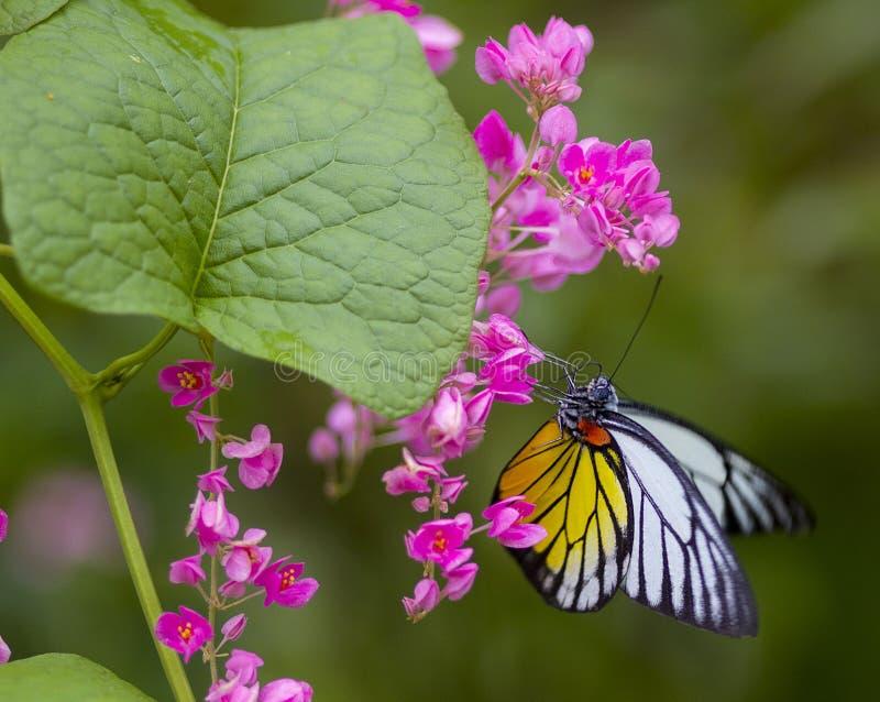 Gele en Witte Vlinder royalty-vrije stock fotografie