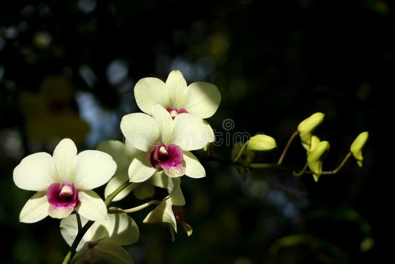 Gele en zachte Roze orchideebloem royalty-vrije stock foto