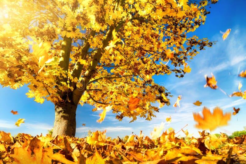 Gele esdoornbladeren die aan de grond vallen royalty-vrije stock afbeeldingen